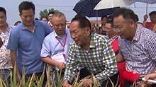 """武冈市""""铁杆水稻""""有望实现亩产1100公斤"""