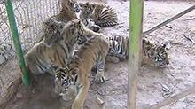 三珍虎园:面向社会征集12只大小老虎名字