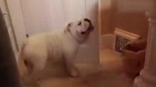 汪不可貌相啊!呆头呆脑的斗牛犬竟能有这么多技能?