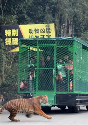 动物园游客安全引关注!八达岭动物园老虎伤人致一死一伤