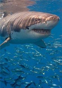 解读深海的最强猎手鲨鱼 最强的居然不是大白鲨!