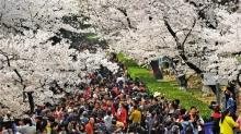 到武大看樱花免费 只需实名网上预约