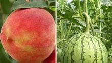 网传桃子西瓜同吃会丧命 是真的吗?