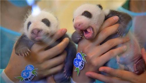 澳门双胞胎大熊猫宝宝健康满月