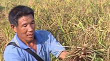 宁远:试种彩稻为农户增收