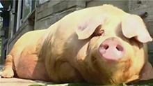 养猪养出千斤猪王 主人如获至宝