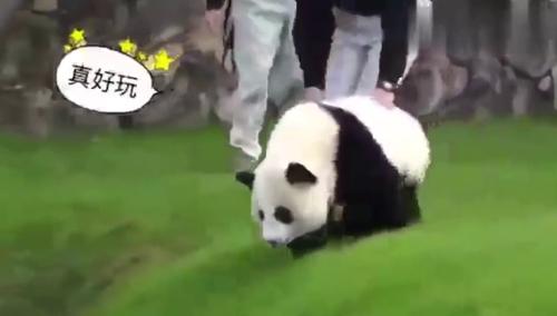 大熊猫可爱卖萌照片