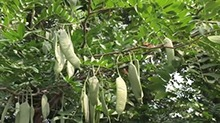 【一点植物学】可以当肥皂用的皂荚