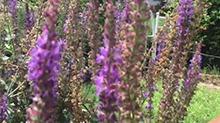【一点植物学】会往蜜蜂身上蹭花粉的鼠尾草