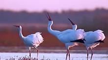 吉林镇赉:迎来濒危物种白鹤停歇高峰