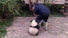 大熊猫粘人突破天际 不爱竹子最爱奶爸的大腿