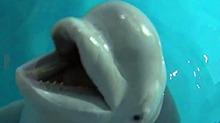 小白鲸亮相长沙海底世界