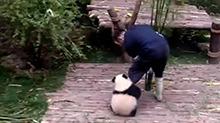 别工作了陪我玩!熊猫宝宝变抱大腿狂魔 饲养员内心是崩溃的