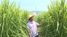 """长沙:巨型稻""""身高""""一米八"""