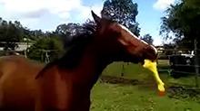 当马儿遇到尖叫鸡