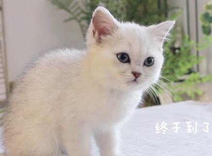 小奶猫被哈士奇猫天天欺负