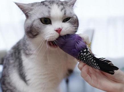 主人拿鸟挑逗猫