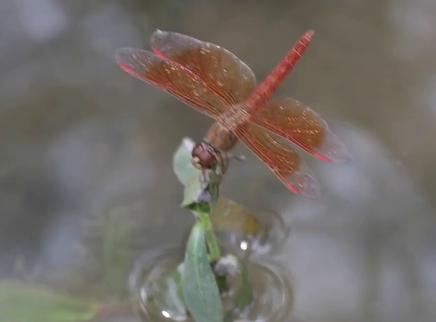 蜻蜓飞翔时翅膀是如何运动的?