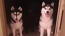 不伸舌头,都不知道还有一只狗